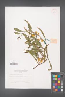 Acacia cyanophylla [KOR 38151]