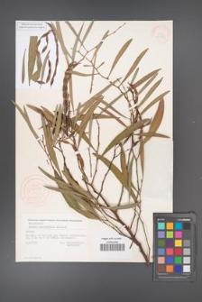 Acacia cyanophylla [KOR 33330]