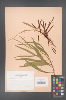 Acacia cyanophylla [KOR 23641]