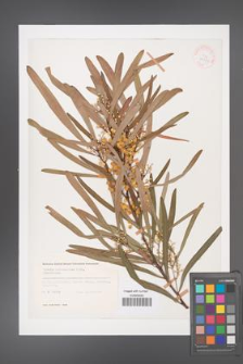 Acacia melanoxylon [KOR 33331]