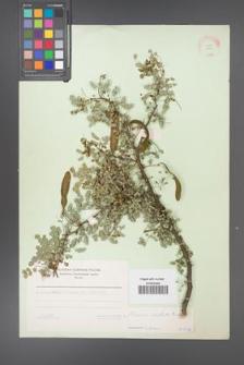 Acacia modesta [KOR 11234]