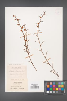 Acacia stenoptera [KOR 25903]