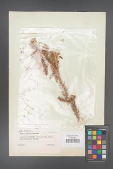 Abies sibirica [KOR 49133]