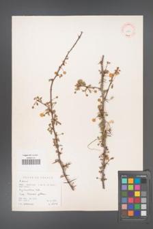 Acacia [KOR 11235]