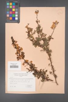 Acacia [KOR 30893]