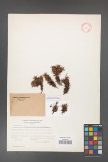 Acantholimon lycopodioides [KOR 11254]