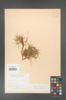 Acantholimon karelinii [KOR 11252]