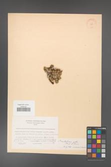 Acantholimon gillii [KOR 11255]