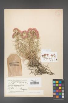 Acanthophyllum brevibracteatum [KOR 11303]