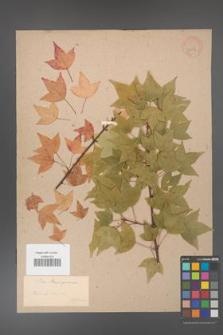 Acer buergerianum [KOR 33356]