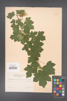 Acer campestre [KOR 48250]