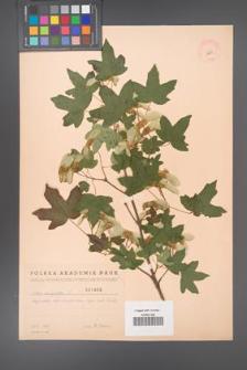 Acer campestre [KOR 1802]