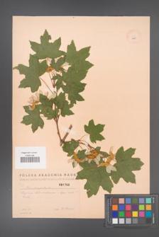Acer campestre [KOR 1793]