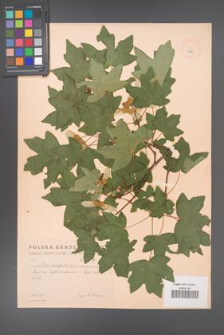 Acer campestre [KOR 1792]