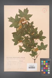 Acer campestre [KOR 1807]