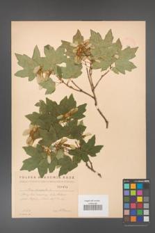Acer campestre [KOR 1803]