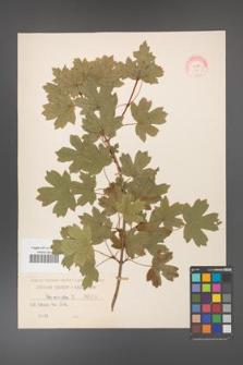 Acer campestre [KOR 6]
