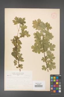 Acer campestre [KOR 3671]