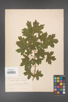 Acer campestre [KOR 10]