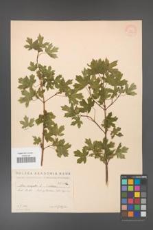 Acer campestre [KOR 1782]