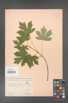 Acer campestre [KOR 17]