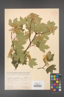 Acer campestre [KOR 27]