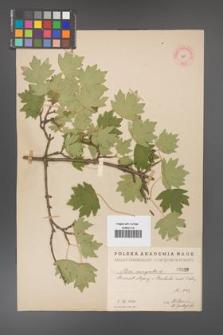 Acer campestre [KOR 19]