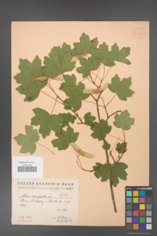 Acer campestre [KOR 25]