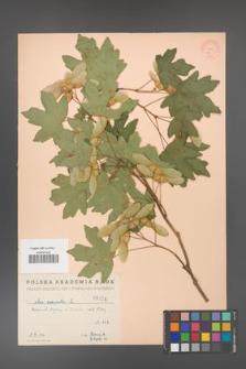 Acer campestre [KOR 24]