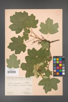 Acer campestre [KOR 16]