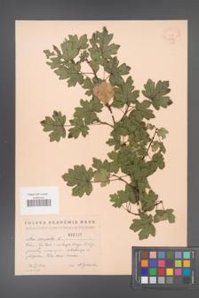 Acer campestre [KOR 2436]