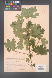 Acer campestre [KOR 2421]