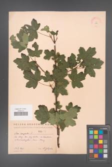 Acer campestre [KOR 2416]