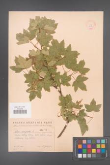Acer campestre [KOR 2412]