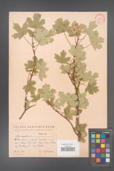 Acer campestre [KOR 2439]