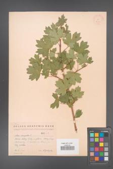 Acer campestre [KOR 2437]