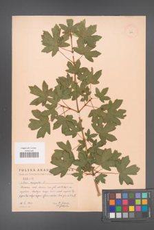 Acer campestre [KOR 2449]