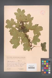 Acer campestre [KOR 2462]