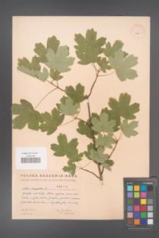 Acer campestre [KOR 2403]