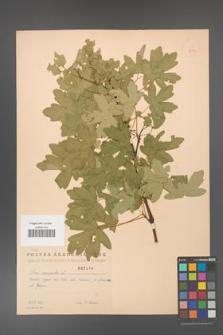 Acer campestre [KOR 2444]