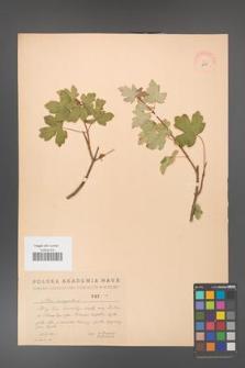 Acer campestre [KOR 2445]