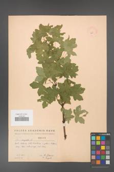 Acer campestre [KOR 2459]