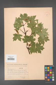 Acer campestre [KOR 2460]