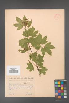 Acer campestre [KOR 2453]