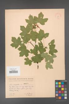 Acer campestre [KOR 2451]