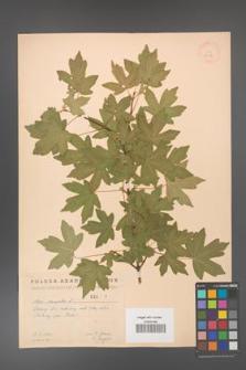 Acer campestre [KOR 2447]