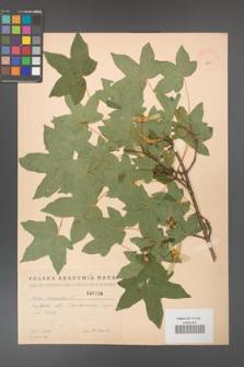 Acer campestre [KOR 1796]