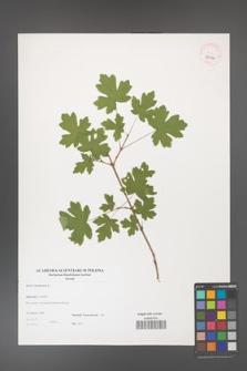Acer campestre [KOR 38990]