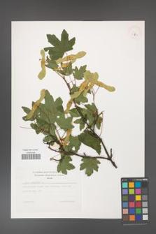 Acer campestre [KOR 32777]