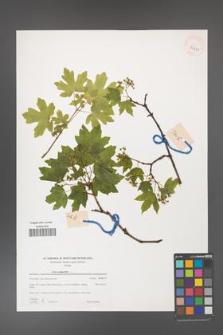 Acer campestre [KOR 39431]